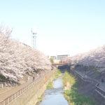 練馬高野台の桜
